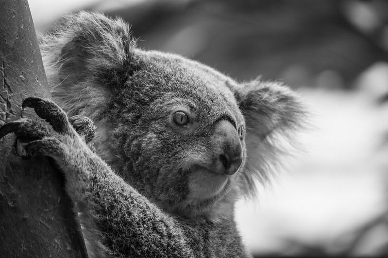 Stealing From Koalas